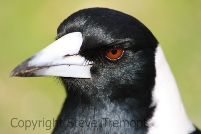 Australian-Magpie-Black-backed-Canberra-ACT-16-7-2009-SMT-1