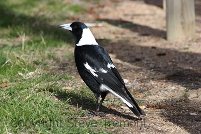 Australian-Magpie-Black-backed-Canberra-ACT-16-7-2009-SMT-2