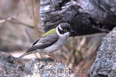 Brown-headed-Honeyeater-250-Pine-Forest-Road-Armidale-NSW-12-8-2013-SMT
