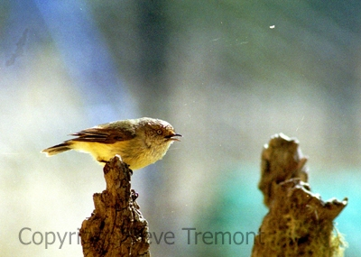 Buff-rumped-Thornbill-250-Pine-Forest-Road-Armidale-NSW-21-August-2004-SMT