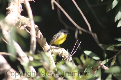 Eastern-Yellow-Robin-Stuarts-Point-NSW-10-7-2014-SMT