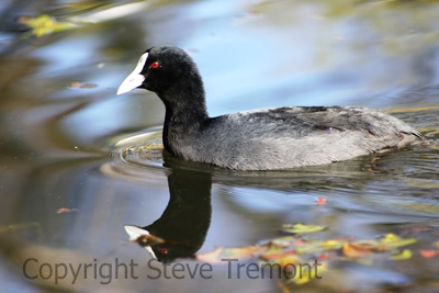 Eurasian-Coot-Commonwealth-Park-ACT-7-7-2009-SMT-4