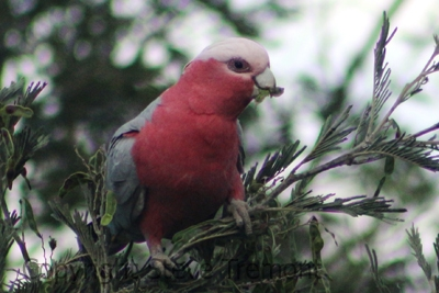 Galah-250-Pine-Forest-Road-Armidale-NSW-9-11-2013-SMT-1