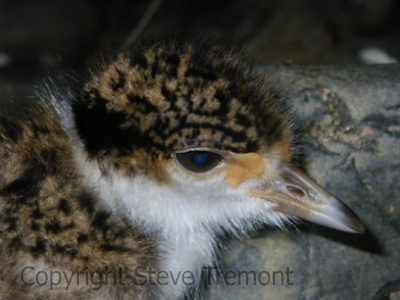 Masked-Lapwing-chick-Chandler-River-via-Long-Point-13-10-2012-SMT-1