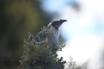 Noisy-friarbird-250-Pine-Forest-Rd.-Armidale-NSW-28-8-2015-SMT-3
