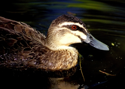 Pacific-Black-Duck-Botanic-Gardens-ACT-29-12-2001-SMT