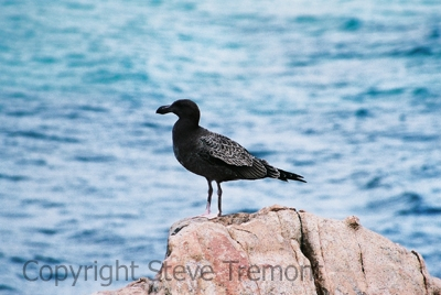 Pacific-Gull-Wineglass-Bay-Freycinet-NP-TAS-26-2-2007-SMT