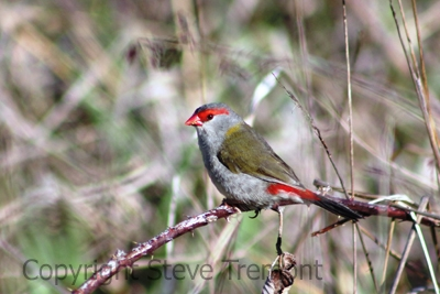 Red-browed-Finch-Armidale-Pine-Forest-NSW-31-10-2013-SMT-1