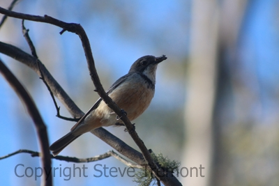Rufous-Whistler-250-Pine-Forest-Road-Armidale-NSW-1-12-2013-SMT-2