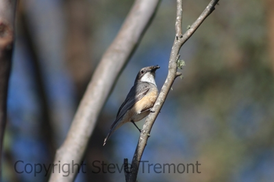 Rufous-Whistler-250-Pine-Forest-Road-Armidale-NSW-1-12-2013-SMT-3