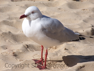 Silver-Gull-Manly-NSW-24-5-2006-SMT-2
