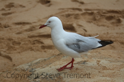 Silver-Gull-The-Twelve-Apostles-VIC-8-1-2015-SMT-02