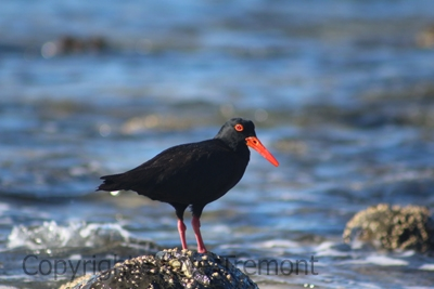 Sooty-Oystercatcher-Crescent-Head-NSW-11-7-2014-SMT-4