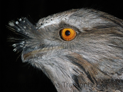 Tawny-Frogmouth-250-Pine-Forest-Road-Armidale-NSW-19-4-2010-SMT-3