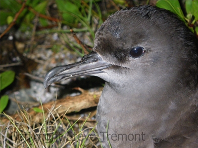 Wedge-tailed-Shearwater-North-Rock-Broughton-Island-NSW-19-12-2010-SMT-1