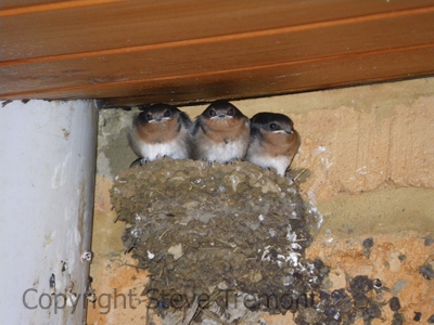 Welcome-Swallow-fledgelings-250-Pine-Forest-Road-Armidale-NSW-8-10-2009-SMT