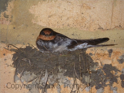 Welcome-Swallow-nest-250-Pine-Forest-Road-Armidale-NSW-11-10-2008-SMT-4
