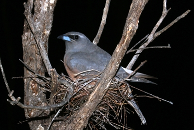 White-browed-Woodswallow-250-Pine-Forest-Road-Armidale-NSW-21-12-2013-SMT