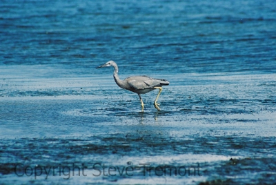 White-faced-Heron-Buckleys-Hole-Conservation-Park-Bribie-Island-QLD-24-4-2006-SMT-2