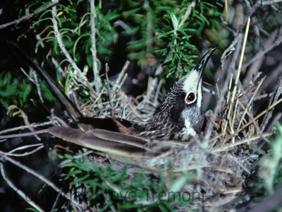 White-fronted-Honeyeater-Mt-Tilley-4-9-1983-SMT