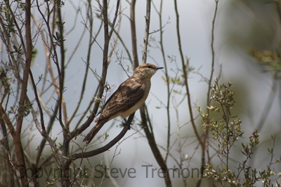 White-winged-Triller-250-Pine-Forest-Road-Armidale-NSW-30-11-2013-SMT-4
