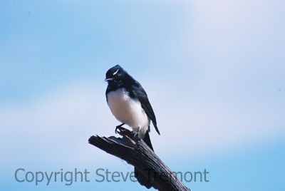 Willy-Wagtail-250-Pine-Forest-Road-Armidale-NSW-9-4-2005-SMT