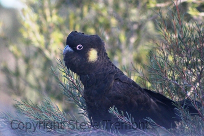 Yellow-tailed-Black-Cockatoo-250-Pine-Forest-Road-Armidale-NSW-10-8-2013-SMT-1