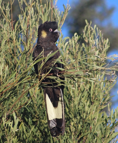 Yellow-tailed-Black-Cockatoo-250-Pine-Forest-Road-Armidale-NSW-10-8-2013-SMT-5