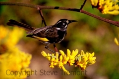 1_New-Holland-Honeyeater-Botanic-Gardens-ACT-29-12-2001-SMT