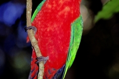 Australian-King-Parrot-Lamington-NP-QLD-20-10-2001-_SMT