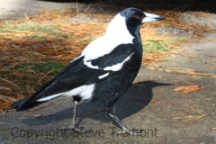 Australian-Magpie-White-backed-Old-Adaminaby-NSW-15-7-2009-SMT