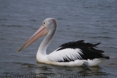 Australian-Pelican-Port-Macquarie-NSW-6-4-2013-SMT-2