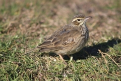 Australian-Richards-Pipit-Crescent-Head-NSW-11-7-2014-SMT-1
