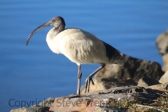 Australian-White-Ibis-Stuarts-Point-NSW-10-7-2014-SMT-1