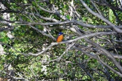 Azure-Kingfisher-Warrell-Creek-via-Scotts-Head-NSW-28-5-2011-SMT-1