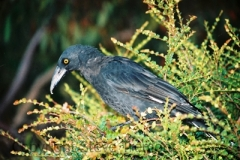 Black-Currawong-Cradle-Valley-TAS-11-2-2007-SMT