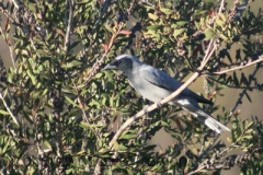 Black-faced-Cuckoo-shrike-250-Pine-Forest-Road-Armidale-NSW-26-10-2013-SMT