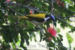 Blue-faced-Honeyeater-Mount-Tamborine-QLD-19-4-2014-SMT-3