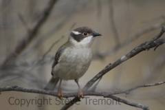 Brown-headed-Honeyeater-250-Pine-Forest-Road-Armidale-NSW-10-7-2013-SMT-2