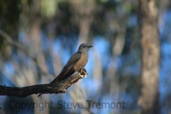 Brush-Cuckoo-250-Pine-Forest-Road-Armidale-NSW-14-11-2013-SMT-1