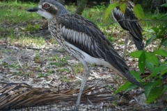 Bush-Stone-curlew-Great-Keppel-Island-QLD-11-7-2010-SMT-3