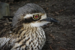 Bush-Stone-curlew-Great-Keppel-Island-QLD-16-7-2010-SMT