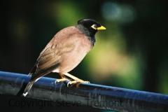 Common-Myna-Taronga-Zoo-NSW-17-4-2007-SMT-1