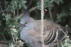 Crested-Pigeon-250-Pine-Forest-Rd.-Armidale-NSW-18-10-2015-SMT-3