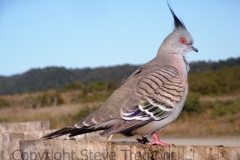 Crested-Pigeon-Lake-Arragan-Yuraygir-NP-NSW-6-7-2007-SMT-4