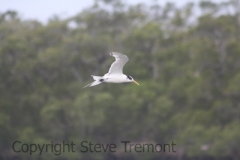Crested-Tern-Lemon-Tree-Passage-NSW-3-4-2015-SMT