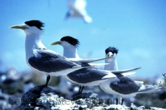 Crested-Terns-The-Brothers-Coffin-Bay-NP-SA-25-1-1984-SMT