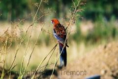 Crimson-Rosella-250-Pine-Forest-Rd.-Armidale-NSW-23-1-2006-SMT-1