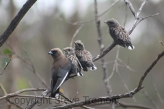 Dusky-Woodswallow-250-Pine-Forest-Road-Armidale-NSW-17-1-2013-SMT-01