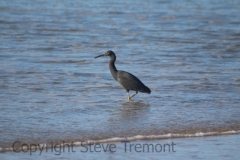 Eastern-Reef-Egret-Goolawah-Reserve-NSW-12-7-2014-SMT-4